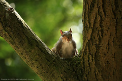 Resting Squirrel (Scott Cartwright Photography) Tags: nature animal canon mammal canoneos britishwildlife professionalphotographer greysquirrel wildlifephotography canoncameras canon5dmk3 scottcartwright shrewsburyphotographer shropshirephotographer shrewburyfreelancephotographer scottcartwrightphotography shropshirefreelancephotographer shrewsburyprofessionalphotographer