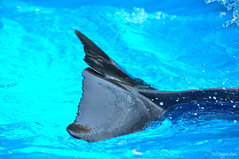 Griffith (Stephanie Faye Rogerson) Tags: beauty up orlando close florida dolphin tail atlantic seaworld flukes bottlenose