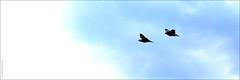 Pigeons in flight (Jeff G Photo - 2m+ views! - jeffgphoto@outlook.com) Tags: bird birds pigeon pigeons flight stjamesspark