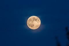 Supermoon - IMG_6334ax (berndkru) Tags: blue moon birds germany deutschland mond explore powerline blau vgel 424 spektakel spectacle stromleitung naturereignis supermond 20140811 canoneos70def300mmf4lisusm14xiii supermooncanoneos70def300mmf4lisusm14xiii