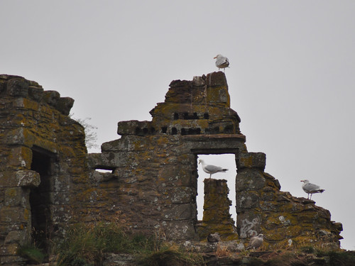 Gulls on Dunnottar Castle