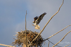 Osprey landing near the Madison River