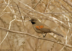 Red-shouldered Spinetail - Synallaxis hellmayri