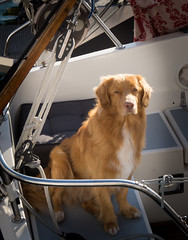 Tolling Retriever (tjengan) Tags: ocean sea dog coast boat sweden retriever sverige tolling grundsund tollare
