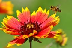 DSC_0528 (sylvette.T) Tags: flower nature fleur bee abeille 2014 nikond5100 objectifsigma70200