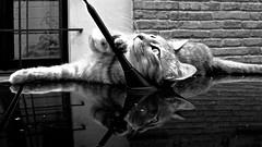 Feline Reflexes. (Chen Khran Mboto) Tags: cats cat feline felini riflessi gatto gatti pecorellanerainpiedi antoniorecupero riflessifelini felinereflexes