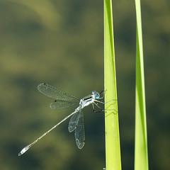 Libellule. (monilague) Tags: bird heron water insect duck eau dragonfly vert marsh marais canard insecte oiseaux libellule héron grren