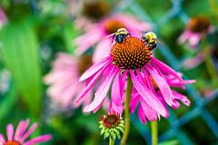 Bees Share (Gabriel Mirasol) Tags: wild blur flower nature colors field contrast 35mm lens prime nikon dof close bokeh saturation nikkor depth dx d5200 f18g