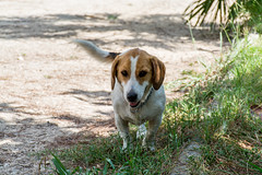 Carlotta (Fran4Life) Tags: dog beagle dogs animal animals
