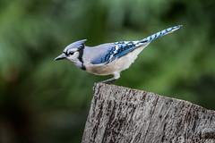 Blue Jay on Stump