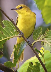 Why We Bird (Feathered Trail Photos) Tags: sussex yellowwarbler walkill avianexcellence fabuleuse mynj
