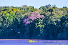 Ipê-roxo (Venicius Follmann de Oliveira) Tags: rio river rs riograndedosul missões matoqueimado rioijuí veniciusfollmanndeoliveira rondinhanews