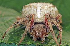 Orb Weaving Spider (Dave Trono) Tags: summer macro canon bug spider flash newengland newhampshire nh flashphotography orbweaver araneus 2014 gardenspider araneidae orbweavingspider marbledorbweaver canonef100mmf28lmacrois canoneos70d araneusnordmanni davetrono