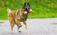 Flammeus Shake Before Use - Harmi (5) (Contact: krista.rosenlof@gmail.com (Fin, Eng)) Tags: shepherd belgian barbi harmi pinkki belgi flammeus