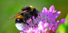 hornet on purple flower (ratioshoot) Tags: macro bug insect bees bee tokina hornet makro macroflower flowerbugs d7000