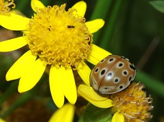 coccinellidae (BSCG (Badenoch and Strathspey Conservation Group)) Tags: don