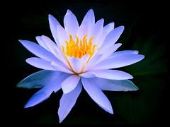 2014.09.06 宝満寺 睡蓮の池 (eriko_jpn) Tags: whiteflower waterlily nympheas 睡蓮 waterlilypond