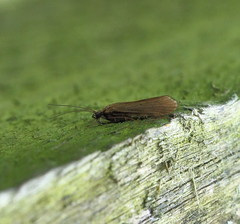 Unknown Trichoptera (Doryreed) Tags: fly caddis trichoptera