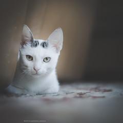 (Katarina Drezga) Tags: cats cute animals cat kitten kittens domesticcat nikkor50mm18g nikond3100