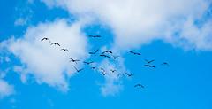 How do we make a V? (Dave_A_2007) Tags: brantacanadensis bird canadagoose goose nature wildlife staffordshire england