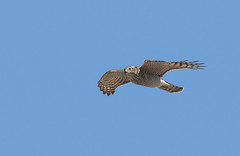 Sparrowhwak- epervier d'Europe- Accipiter nisus (Morgan Boch) Tags: nikon migration aude oiseau gruissan sparrowhawk accipiternisus epervier d300s morganboch