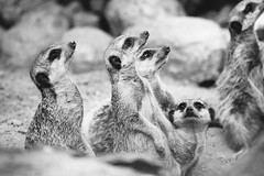 Meerkat Group (PatiPhotography.com) Tags: africa wild blackandwhite brown cute nature monochrome face animal mammal photography togetherness eyes meerkat sand furry sweet african wildlife small watching group guard lookout photograph wilderness creature alert snout meercat suricate meerkats watchful suricatta suricata patiphotography patrycjapolechonska