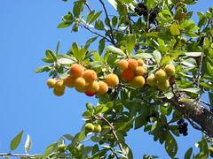 """Corbezzolo di Sicilia """"Arbutus unedo) (Luigi Strano) Tags: italy plants fruits sicily piante shrubs sicilia strawberrytree frutti arbutusunedo cespuglio corbezzolo arbusti"""