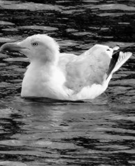 Seagull Series (bimbler2009) Tags: london water birds wildlife seagull canarywharf sonycybershot