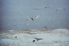 les augures (asketoner) Tags: winter snow field grass birds landscape island dawn daylight flying iceland day dusk group flight snowing flakes peninsula islande snaefellsness olafsvik isklandi