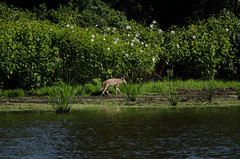 Coyote (WyldeNikonShooter) Tags: infocus highquality