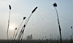 .. wo hlt sie sich versteckt? (otto.hitzegrad) Tags: nebel herbst gras spinne bremen tau weser bollen insekten marsch netz tautropfen deich halme hemelingen nebelstimmung