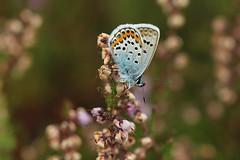 Heideblauwtje - Plebejus argus (johnv2400) Tags: veld argus plebejus heideblauwtje leersumse