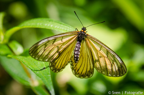Fresh Butterfly