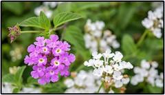 Small flowers (SarojPadhy) Tags: flower flowerwatcher