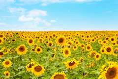 Landscape - Sunflowers (alikmulik1) Tags: blue summer sky cloud sun sunlight white flower green nature colors field yellow landscape meadow sunflower curve multicolored cloudscape vibrantcolor landscaped ruralscene beautyinnature nonurbanscene horizonoverland