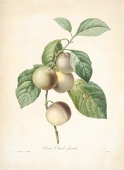 Plum, Greengage 'Reine Claude Franche'. Prunus domestica subsp. italica var. claudiana. Green to yellowish fruits, often with pale blue blush. Flesh light green, smooth, and extra sweet. Choix des plus belles fleurs  par P.J. Redoute. (1833) (Swallowtail Garden Seeds) Tags: plants public fruits vintage botanical plum botany santarosa horticulture domain frenchart greenplum greengage vintageillustration redout botanicalillustration greengageplum frenchillustration 19thcenturyillustration choixdesplusbellesfleurs swallowtailgardenseeds plumillustration vintagefruitillustration