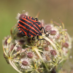 """Graphosoma lineatum"" - Pyjamawants (bugman11) Tags: red macro nature animal animals fauna canon bug insect nederland thenetherlands insects bugs wants graphosomalineatum thegalaxy pyjamawants platinumheartaward streepwants 100mm28lmacro"