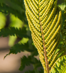 new fronds (otgpics) Tags: morning shadow sun sunlight fern green leaves yellow early leaf structure pale foliage fronds unfurling segmented