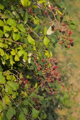 Wild Summer Fruits (Adam Swaine) Tags: hedgerows fruits summer blackberries countryside kent english berries england britain counties swaine 2106 canon uk walks nature hedges
