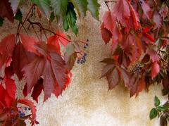 Dcor d'automne (MAPNANCY) Tags: feuillage automne douleurs mur fruit