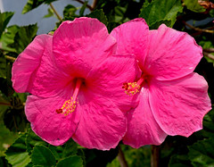 Hibiscus (jcc55883) Tags: flora flower hibiscus pink hawaiiflower tropicalflower kaimuki hawaii oahu honolulu nikon nikond3200 d3200