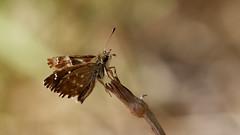 Mallow Skipper - Carcharodus alceae (jaytee27) Tags: mallowskipper naturethroughthelens