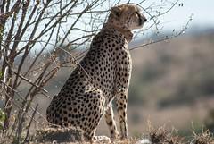 Nabiki III (Makgobokgobo) Tags: cheetah predator mammal naiboshoconservancy naibosho mara kenya africa acinonyxjubatus acinonyx