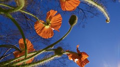 Red Poppies (Leafypages) Tags: red poppies lumix