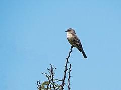 Flycatcher (OSChris) Tags: botanicalgarden charcoelingenio nature vermillionflycatcher female sanmigueldeallende guanajuato mexico bird