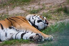 Igor (Cloudtail the Snow Leopard) Tags: tiger zoo landau tier animal mammal sugetier katze cat feline big gros raub panthera tigris amur sibirischer male igor