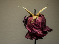 Kiss From a Dead Rose (nicklaborde) Tags: 500px olympus 75mm macro tube flower red plant lumix gx7 lumixlounge dried