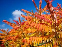 Herbstlaub (bayernphoto) Tags: herbst verfaerbung bunt blaetter ahorn essigbaum orange rot gelb satt intensiv ostpark muenchen munich autumn fall foliage sun warm sonnig kontrastreich farben