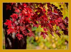 Autumn Leaves (Jmarie999) Tags: autumn leaves mapleleaves bokeh odc