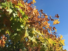 Colors of Autumn (cliffordswoape) Tags: october blue red gold green skyblue bluesky smithville tennessee redoak leaves
